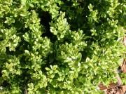 greenvelvetboxwood (1)
