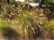 Hamelngrass