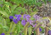 PurpleBeautyberry
