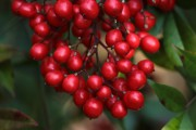 evergreen-berries-landscape-winter-garden-LeHigh Valley