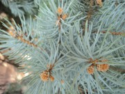 blue-spruce-evergreen