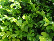 boxwood-evergreen