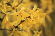forsythia-forced branches-landscape designer--LeHigh Valley-Bucks County