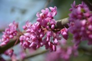 redbud-forced branches-outdoor living-backyard design