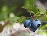 garden blueberry