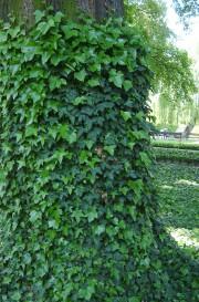 english ivy2