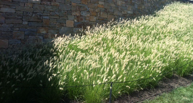 Landscape spotlight ornamental grasses masterplan for Landscape grasses for sun