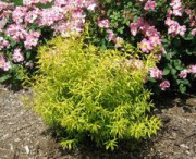 mellow yellow spirea