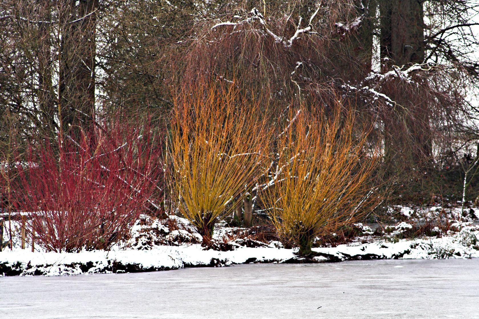 Landscape Spotlight Red Twig Dogwood Arctic Fire And