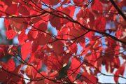 dogwood autumn leaves