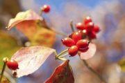 dogwood fruit