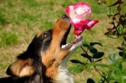 dog eating rose
