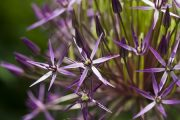 allium cristophii star of persia