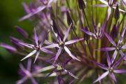allium cristophii star of persia
