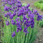 siberien iris