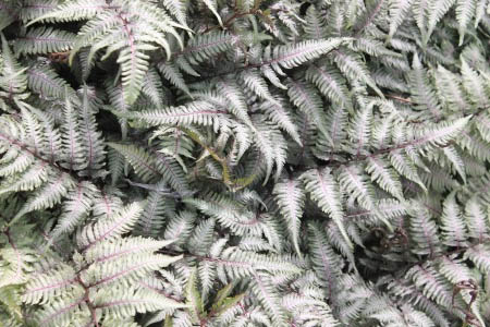 Landscape Spotlight: Japanese Painted Fern, 'Athyrium nipnicum var. pictum'