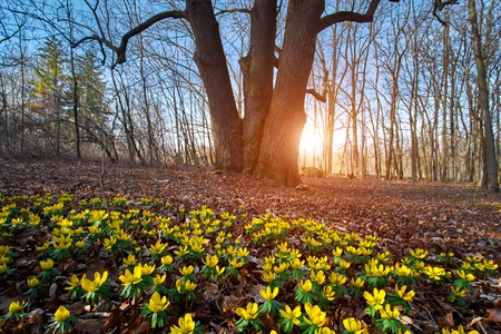 Landscape Spotlight: Winter Aconite, 'Eranthus hyemalis'
