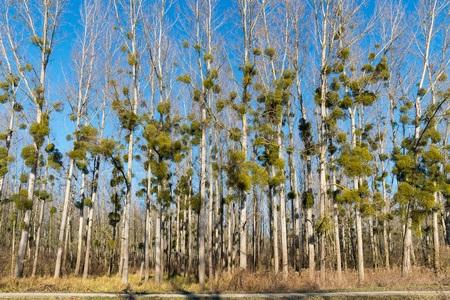Landscape Spotlight: Mistletoe, 'Phoradendron'